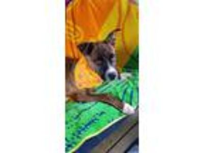 Adopt Dana a Brindle Boxer / American Pit Bull Terrier / Mixed dog in