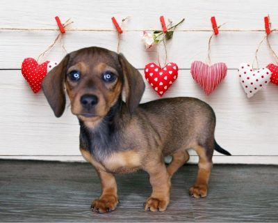 Belle is a sweet little Dachshund Female www.PuppiesForSaleToday.com