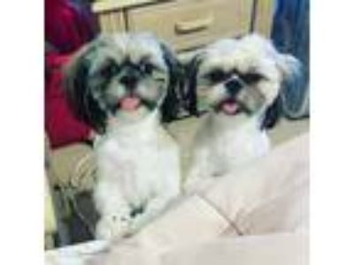 Adopt Stitch a Brown/Chocolate - with White Shih Tzu / Mixed dog in Davenport