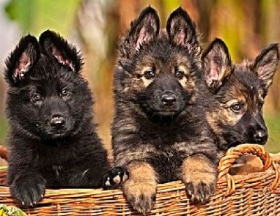Buy Top Breeders of German Sheperd Puppy in USA