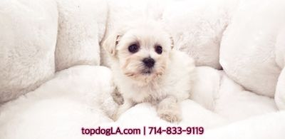 Poodle (Standard)-Maltese Mix PUPPY FOR SALE ADN-75515 - Maltipoo Female Maui