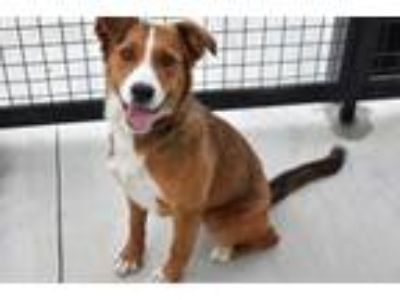 Adopt Rosie a Collie, Mixed Breed