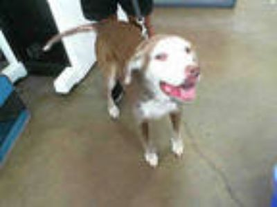 Adopt LANA a Red/Golden/Orange/Chestnut Labrador Retriever / Mixed dog in
