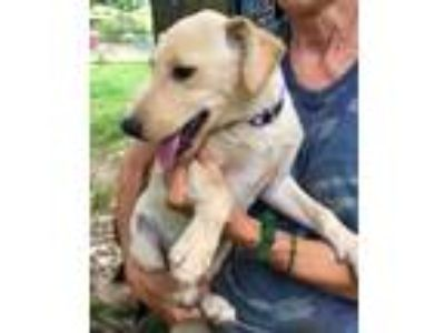 Adopt Sadie - water dog deluxe, beautiful puppy a Labrador Retriever