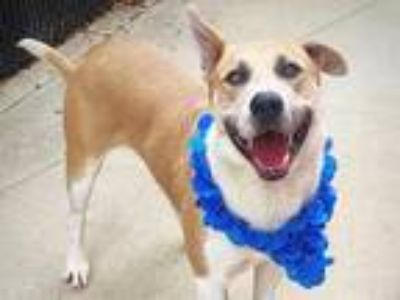 Adopt ZUKI a Brown/Chocolate - with White Mixed Breed (Medium) / Mixed dog in