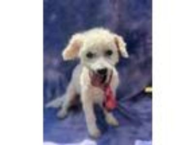 Adopt Grant a Poodle