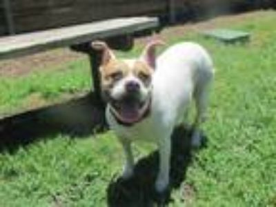 Adopt Kinsey A097299 a Pit Bull Terrier