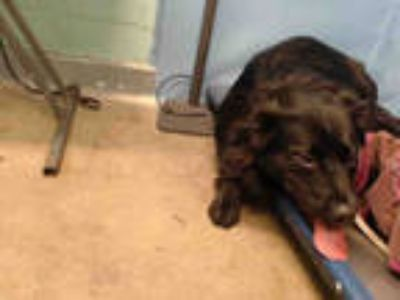 Adopt DYLAN a Black - with White Australian Shepherd / Schipperke / Mixed dog in