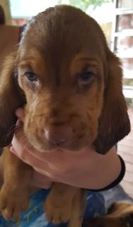 Bloodhound PUPPY FOR SALE ADN-88087 - Beautiful wrinkled babies