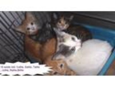 Adopt Kittens/Sallie,Callie,Tallie,Jollie,Rallie,Billie a Domestic Short Hair