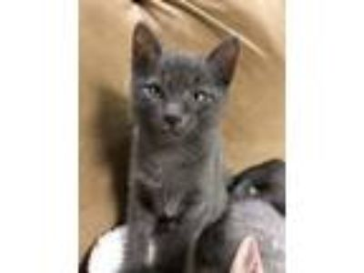 Adopt Banjo a Domestic Short Hair