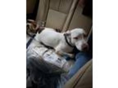 Adopt Koda a White - with Brown or Chocolate American Pit Bull Terrier dog in