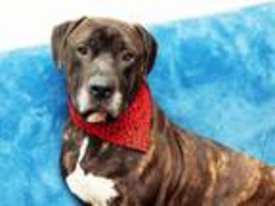 Adopt ORION a Boxer, Mixed Breed