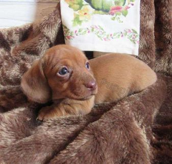 Female Mini Doxie with light eyes