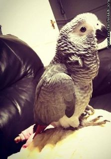 African Grey For X