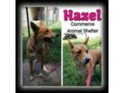 Adopt Hazel a Shepherd (Unknown Type) / Mixed dog in Commerce, TX (25944079)
