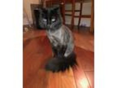 Adopt Humphrey a All Black Domestic Longhair (long coat) cat in Colmar