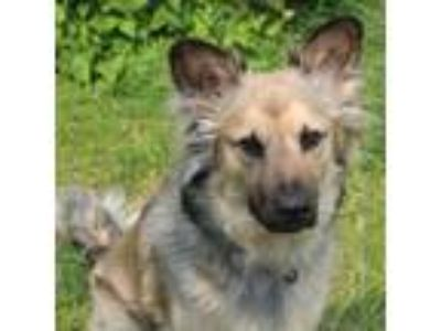 Adopt Luna a Tan/Yellow/Fawn Shepherd (Unknown Type) / Mixed dog in Menands