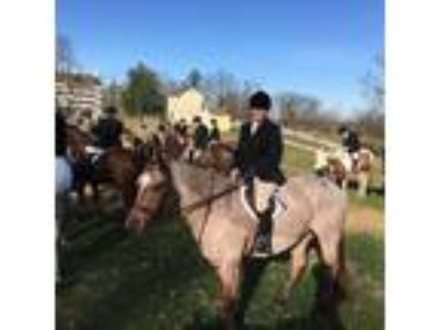 Fancy Roan Quarter Horse Gelding Field HunterDressage Eventing Prospect