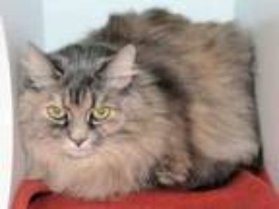 Adopt BUFFY a Maine Coon