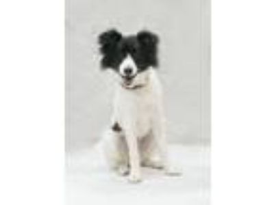 Adopt Peaches a Border Collie