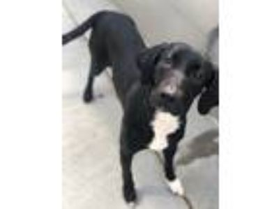 Adopt Jane a Black - with White Labrador Retriever / Mixed dog in Naperville