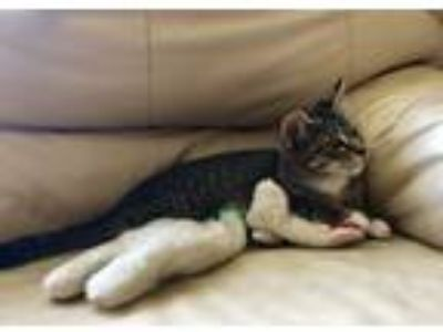 Adopt Lucy!!! a Domestic Short Hair, Tabby