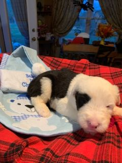 Old English Sheepdog PUPPY FOR SALE ADN-105352 - Old English Sheepdog Puppies