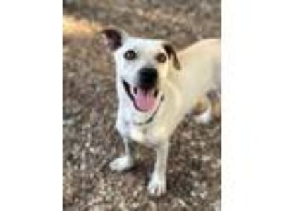 Adopt Phoenix a Dachshund / Mixed dog in Rockwall, TX (25873733)
