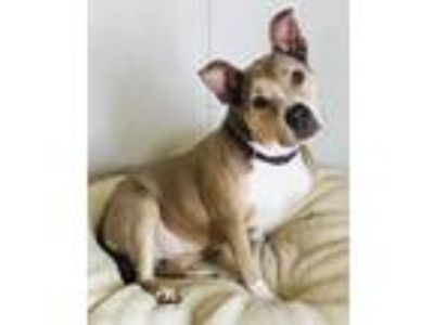 Adopt Natalie a Tan/Yellow/Fawn - with White American Staffordshire Terrier /