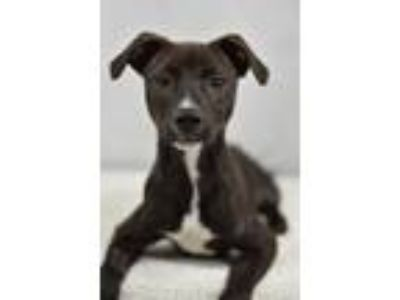 Adopt Felipe a Terrier (Unknown Type, Small) / Mixed dog in Fort Worth