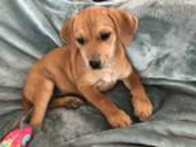 Adopt Carrot a Red/Golden/Orange/Chestnut Labrador Retriever / Beagle / Mixed