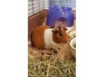 Adopt Arnie a Black Guinea Pig / Guinea Pig / Mixed small animal in Kenosha