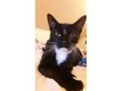 Adopt Lightning a Black & White or Tuxedo Domestic Shorthair cat in Lincoln