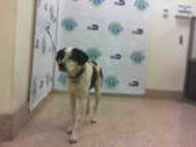 Adopt HUNTER a Black - with White Australian Cattle Dog / Mixed dog in Doral