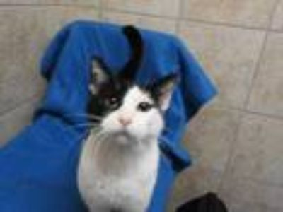 Adopt Justine a All Black Domestic Shorthair / Domestic Shorthair / Mixed cat in