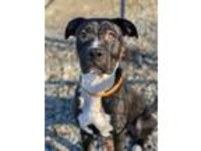 Adopt Duke a Great Dane