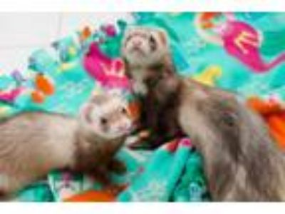 Adopt Gideon, Odie, and Maxine a Ferret