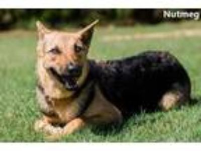 Adopt Nutmeg a Black German Shepherd Dog / Mixed dog in Cedar Hill