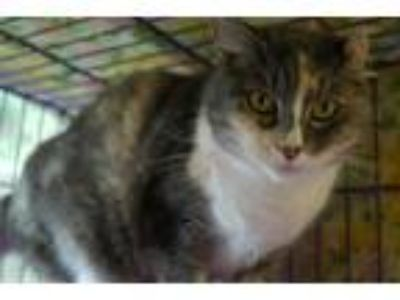 Adopt Baby Girl a Orange or Red Domestic Shorthair / Mixed (medium coat) cat in