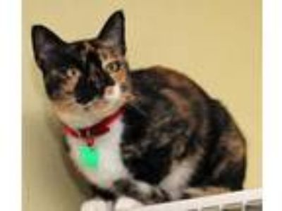 Adopt Celine a White Domestic Shorthair / Domestic Shorthair / Mixed cat in
