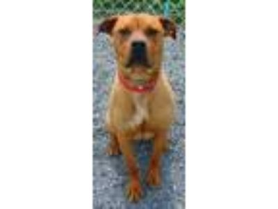 Adopt Gemma-Cougar Canine a Brown/Chocolate Boxer / Mixed dog in Moses Lake