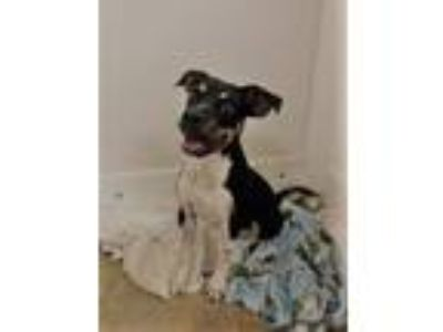 Adopt PUPPY ELVIS a Tricolor (Tan/Brown & Black & White) Coonhound / Rottweiler