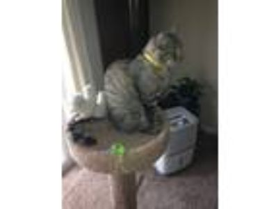 Adopt Toby a Gray, Blue or Silver Tabby Egyptian Mau / Mixed (short coat) cat in