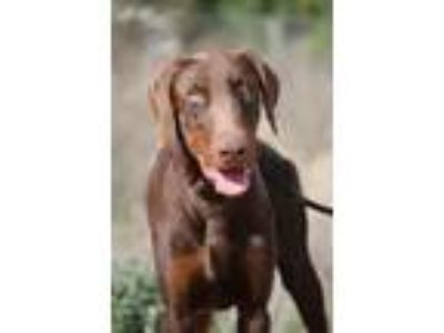 Adopt Laredo a Brown/Chocolate - with Tan Doberman Pinscher / Mixed dog in