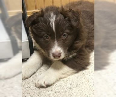 Australian Shepherd PUPPY FOR SALE ADN-119690 - Austrian Shepherds for sale