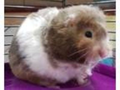 Adopt Lala a Brown or Chocolate Hamster / Mixed small animal in DeKalb