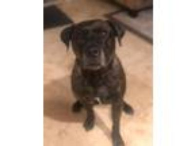 Adopt Tyson The Lover a Brindle Black Mouth Cur / American Pit Bull Terrier /