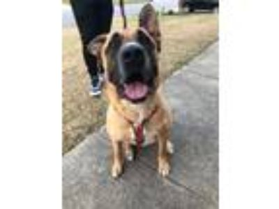 Adopt Lobo a Brown/Chocolate - with White German Shepherd Dog / American Pit