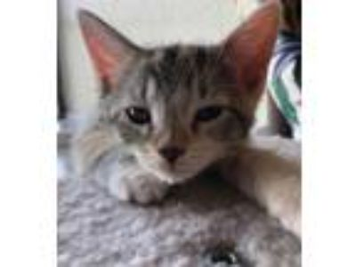 Adopt Buttercup 19-0107 a Calico or Dilute Calico Domestic Shorthair / Mixed